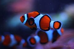 Clown Fish at Adventure Aquarium (Soapbox Girl (Carol Anne)) Tags: fish clownfish aquaticlife adventureaquarium adventureaquariumcamdennj