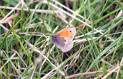 Shy Small Heath - Happy Wing Wednesday! (RiverCrouchWalker) Tags: grass butterfly spring may meadow essex rhs hydehall 2016 coenonymphapamphilus smallheath rettendon rhshydehall wingwednesday