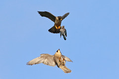 Food delivery service---(better than a drone!) (ml's pictures) Tags: catch carry peregrinefalconpreydrop