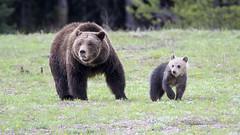 RIP Snowy (jrlarson67) Tags: bear cub nationalpark snowy grand grizzly teton 399