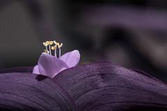 Muted. (Angela.Dee) Tags: bokeh dof purple flower bloom desaturation canon 6d 100mml 100mm macro outdoor outside cy365