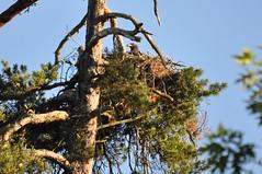 Seeadler (Forstbetrieb_Forchheim) Tags: bayern nest adler horst wald bume baum vogel greifvogel seeadler baysf staatswald bayerischestaatsforsten