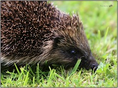 Garden hedgehog, Bangor, Northern Ireland (BangorArt) Tags: animal mammal bangor northernireland hedgehog countydown erinaceuseuropaeus paulanderson erinaceinae europeanhedgehog bangorart eulipotyphla gardenhedgehog