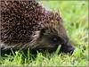 Garden hedgehog, Bangor, Northern Ireland (BangorArt) Tags: animal mammal bangor northernireland hedgehog countydown erinaceuseuropaeus paulanderson erinaceinae europeanhedgehog bangorart eulipotyphla gardenhedgehog