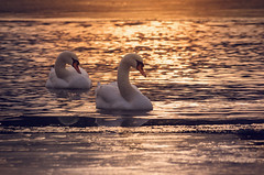 Harmony (Psztor Andrs) Tags: sunset sunlight reflection bird nature water swim photography golden evening swan pond nikon colorful hungary waves outdoor sigma dslr 70300mm calmness andras pasztor mrtly d5100