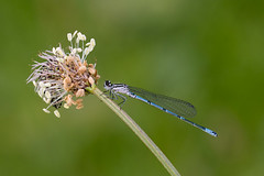 Azure damselfly (Mister Oy) Tags: england macro nature insect photo nikon dragonfly bokeh wildlife azure resting damselfly bryn wigan d800 davegreen odonata localnaturereserve sigma150mmf28macro aphotoof nikond800 threesistersrecreationarea oyphotos oyphotos