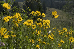 "Rocky Mountain Helianthella • <a style=""font-size:0.8em;"" href=""http://www.flickr.com/photos/63501323@N07/27297344572/"" target=""_blank"">View on Flickr</a>"
