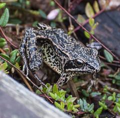 (Romuald Dlugosz) Tags: animal moss outdoor amphibian frog marsh peatbog zitzmin