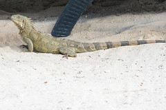 Iguana sunbathing (timohermann) Tags: iguana curacao curaao willemstad leguan
