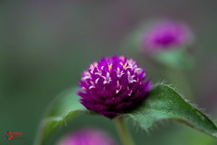 Globe Amaranth (SPP- Photography) Tags: morning flowers como flower nature canon morninglight petals purple blossom blossoms 100mm blooms heliotrope blooming 6d flowersplants globeamaranth macro100mm marjoriemcneelyconservatory canon6d