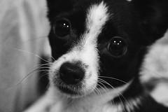 Lola love (bonjoursamy) Tags: lola puppy dog chihuahua lolalove blackandwhite blancoynegro monocrome monocrom canon lightroom vscofile