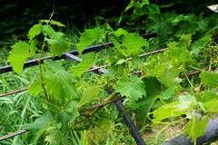 Nature is Green (violinivanov) Tags: grapes nature bulgaria varna sony a6000 macro
