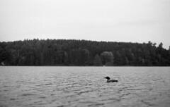 Loon (yesimahuman) Tags: vacation lake bird film wisconsin 35mm cabin minolta kodak trix 400 loon filmphotography srt100 cabinporn