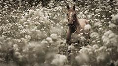 entre las nubes (www.infografiagijon.es) Tags: horse canon caballo asturias gijon xixon markii asturies infografia astur eos5d hernancad wwwinfografiagijones