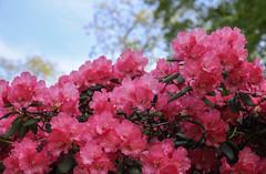 Abundance On A Sunny Day (AnyMotion) Tags: travel pink sky colors germany reisen colours blossom bokeh hamburg rosa rhododendron ericaceae azalea blte plantenunblomen farben 6d 2016 anymotion kleinewallanlagen hamburgimpressions canoneos6d