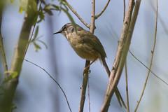 Yellow-bellied Prinia 黄腹鹪莺 (bessieyliu) Tags: prinia flaviventris