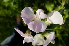20160608 019 (photog_at) Tags: flowers garden natur pflanzen blumen finepix fujifilm garten x20 fujix20