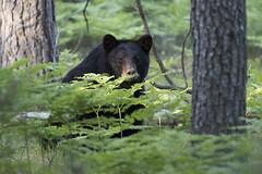 American Black Bear (Ursus americanus) (Bugbait of Seney) Tags: ursusamericanus blackbear bear trees ferns seneynationalwildliferefuge seneynwr upperpeninsula michigan american black americanblackbear