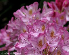 Art, like morality, consists.... (itucker, thanks for 2.3+ million views!) Tags: macro bokeh rhododendron dukegardens hbw