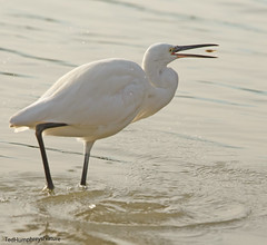A snack (Ted Humphreys Nature) Tags: littleegret egrets herons tedhumphreysnature