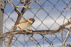 House Sparrow (cebuphotographer) Tags: utah housesparrow nikoncapturenx nikond300 nikon200500mmf56