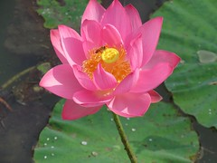busy bee in the flower (oneroadlucky) Tags: pink plant flower nature animal waterlily lotus bee