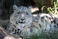 Relaxing In The Shade (greekgal.esm) Tags: california animal santabarbara cat zoe mammal feline sony hannah leopard bigcat snowleopard carnivore santabarbarazoo sal70300g a77m2 a77mii