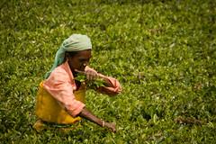 Older woman picking tea leaves.jpg (melissaenderle) Tags: labor rural teaplantation vacation asia kerala mountain