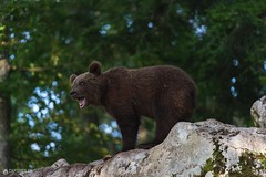 Brown bear - Slovenia (Sinar84 - www.captures.ch) Tags: 2016 animal bear black blue brown brownbear cliff europa juni karst kocevska notranjska notranjskaregionalpark orange red rock slovenia slovenianbearscom summer trees white