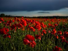 Poppy field in the evening light (rainerralph) Tags: flowers flower field flora olympus poppy mohnblume mohnfeld poppyfield outddoor omdem5markii objektivmzuikodigital25mm18
