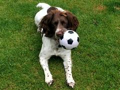 Euro 2016 Hooligan ? (Heaven`s Gate (John)) Tags: brock springer spaniel dog football ball grass play puppy euro 2016 france hooligan riot supporter johndalkin heavensgatejohn