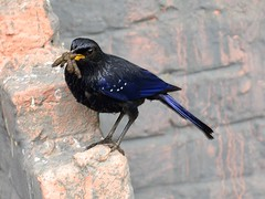 Bricks for branches - Himalayan Whistling Thrush (A_K_B) Tags: blue bird himalayas himalayan thrush whistling