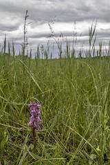 Laboratorio in natura (_milo_) Tags: italy flower fleur canon eos italia fiore orchidea 18135 60d anacamptispalustris