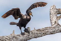 Prelude to a jump (bodro) Tags: birds jump wings wetlands cormorant bolsachica birdonatree