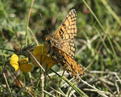 Butterfly on Alderney (neilalderney123) Tags: butterfly bug insect olympus alderney butercup 2016neilhoward