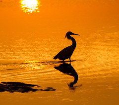 wading through sunrise (William Miller 21) Tags: reflection bird beach nature silhouette sunrise canon wildlife 7d snowyegret matanzas 300f4