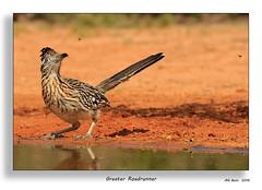 Greater Roadrunner - (Mar 2016) (Malcolm Benn) Tags: birds canon texas 100400mm 2016 greaterroadrunner santaclararanch mgbenn malcolmbenn 7dmii