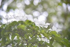 ヤマボウシ 画像38