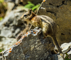 golden mantled ground squirrel - banff NP, canada (AB) 5 (Russell Scott Images) Tags: canada ab alberta banff rodents banffnationalpark goldenmantledgroundsquirrelcallospermophiluslateralis