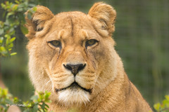 Lion 710_0187.jpg (Mobile Lynn) Tags: england nature unitedkingdom lion gb captive wildcats lympne landmammals