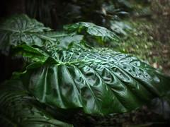 Mercury leaf_c (gnarlydog) Tags: distortion blur green texture nature leaf rainforest bokeh outdoor australia swirly adaptedlens cinelens microfourthirds kodakektar25mmf19