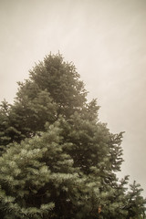 Sense of Scale/2 (Angela.Dee) Tags: tree bluespruce pinetree green light senseofscale shotfromlow canon 6d 24105mml cy365