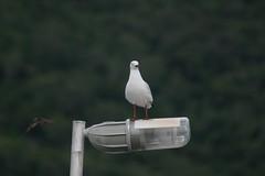 The Seagull ----  IMG_4403 (harry de haan) Tags: harrydehaan palmcove qld fnq australia queensland wetseason wet