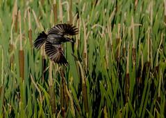 Red-Winged Blackbird (michaelbbateman) Tags: us newjersey unitedstates kinnelon