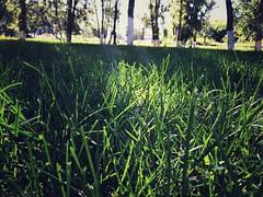 Grass (cyberain89) Tags: summer tree grass square samara