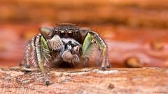 Habronattus viridipes jumping spider (Tibor Nagy) Tags: portrait macro closeup spider eyes arachnid flash jumper softbox diffuser diffused jumpingspider arthropod salticid palps salticidae mandibles setae chelicerae habronattus viridipes