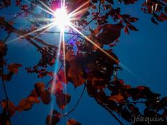 hojas01 (Joaqunrod) Tags: contraluz hojas arbol rojo otoo rama