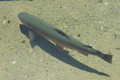 Rainbow Trout (pictureguy89) Tags: fish arcoiris rainbow peixe trout truta