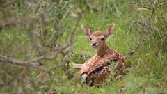 Bambi (Alex Verweij) Tags: nature canon young natuur 5d hiding duinen awd jong wile 200mm markiii damhert eer verstoppen