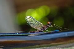 Backyard Baetis (Brant He. Fageraas) Tags: macro nature colors norway colorful bokeh naturallight flyfishing mayfly shallowdof flyfishingart baetisrhodani
